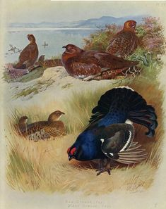 Grouse - Red and Black