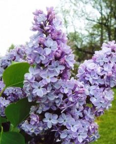 "President Lincoln - ""closest to blue"" lilac"