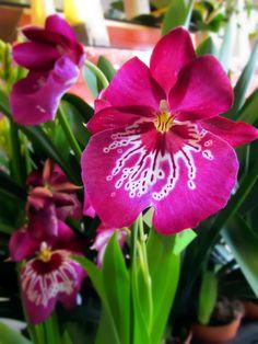 #orchid miltonia #storczyk