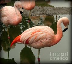 Another photo of the orange Chilean Flamingo on Fine Art America.