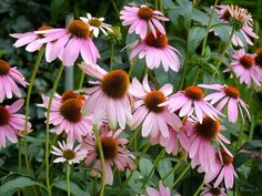 cone flowers | Coneflowers in bloom | Sherry's Place