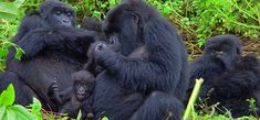 An unforgettable gorilla trekking experience in Bwindi Impenetrable National Park chance to track some of the few remaining mountain gorillas is maybe one of the most fascinating wildlife encounters in Uganda.