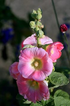 Posts about Flowers & Botany written by Rosemary Blue Morning Glory, Foggy Morning, Morning Light, Seattle Travel, Rose Marie, The Good Shepherd, Hollyhock, Watercolor Sketch, Autumn Day