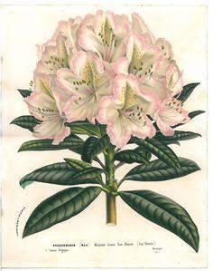 Antique Flower Van Houtte Lithograph C 1860 Vintage Botanical RARE Large Azalea | eBay