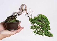 shohin shimpaku bonsai - Google Search