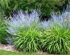 Russian Sage and Day Lily Perennial Grasses, Ornamental Grasses, Perennials, Full Sun Landscaping, Front Yard Landscaping, Dry Garden, Lawn And Garden, Garden Pool, Outdoor Plants
