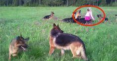Little Girl Plays In A Field With 14 German Shepherds.