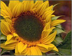 sunflower head - Google Search