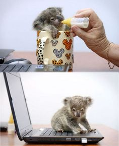 The cutest baby koala... would definitely help productivity at work ;)