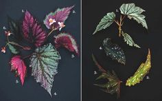 Garden Design Appreciates Begonias
