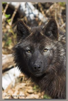 DeCamp.Net Photography :: Lakota Wolf Preserve :: lkta0067_01 Wolf Pup, Wild Dogs, Foxes, Preserve, Yard, Tattoo, Photography, Animals, Pickling