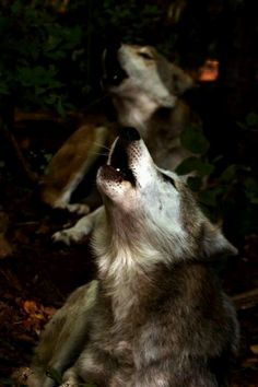 .Keep Howling Beautiful Wolves.