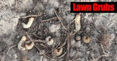 Lawn grubs - Japanese beetle larvae are notorious for destroying lawns, grub worms create brown patches you can easily pull out. [LEARN MORE]