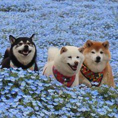 Beautiful Shiba Inu trio.