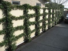 Espaliered driveway wall