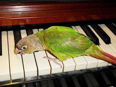 Yoshi (Cinnamon Green Cheeked Conure) trying to play the organ! By: Annie Gavin