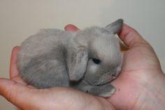 grey miniature lop