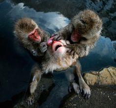 Snow Monkeys, Japan, Nagano © Anton Chekalin