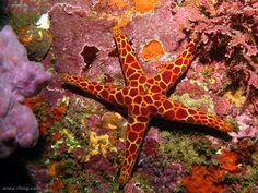 Mosaic Sea Star(Plectaster decanus) byRichard Ling