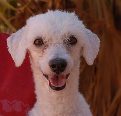 Armstrong is a peppy, cheerful Miniature Poodle debuting for adoption today at Nevada SPCA (www.nevadaspca.org).  He is a handsome boy, neutered, about 6 years of age, and compatible with other friendly dogs.  We love Armstrong's good-natured temperament and positive attitude.  Please plan and budget for regular professional grooming.