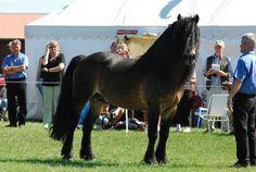 Rekyl, North Swedish Stallion, Foto: S. Ewald