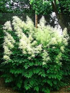 "Aruncus dioicus  ---  Goatsbeard is a large, showy native good for fencelines or borders. Like a big astilbe. 4-5ft. tall by 2-4ft. wide, with 12-20"" blooms in late May or June. Creamy white, long-lasting flowers are handsome into winter if allowed to dry on the plant. Needs moisture & shade, esp. in hot areas. Attractive to bees & butterflies. z. 4-9"