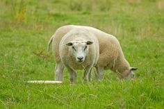 Panoramio - Photos by kuchipi Sheep
