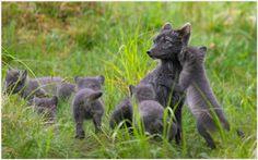 Fox Family Of Arctic Fox Wallpaper | fox family of arctic fox wallpaper 1080p, fox family of arctic fox wallpaper desktop, fox family of arctic fox wallpaper hd, fox family of arctic fox wallpaper iphone