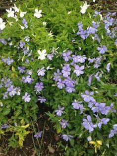 Horned Violet (viola cornuta): Native to the Pyrenees.