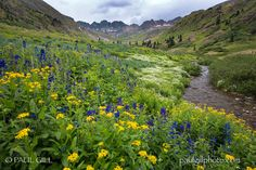 American Basin wildflowers (Colorado) by Paul Gill