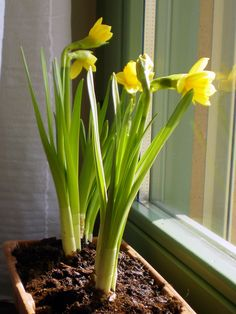 daffodils inside