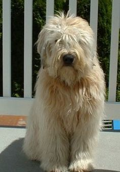 Adult Wheaton Terrier- I don't think I could let Riley's hair grown this long! Haha