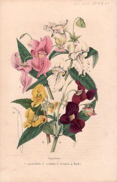 Antique Botanical Print Rare Flora by AntiquePrintGarden on Etsy