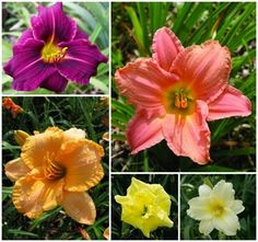 Oakes Daylilies Rebloom Collection