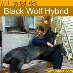 WTF Fun Fact German Shepherd Wolf Mix, German Shepherds, Wolf Hybrid Dogs, Lap Dogs, Dogs And Puppies, Real Dog, Wolf Pictures, Wolf Love, Dog Id