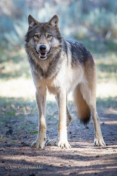 Image from http://goeddelphotography.com/uploads/photos/_large/wild-gray-wolf-yellowstone.jpg.