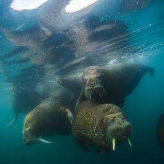 Insta / natgeocreative: Photo by @coryrichards: #Walruses swim #underwater off Hooker Island. #Russia