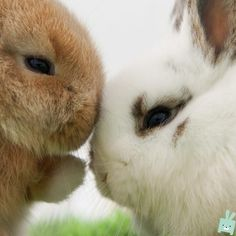 A bunny kiss is always the best kind of kiss! #bunny #rabbit #cute #adorable