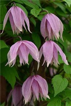 Clematis 'Pink Dream' - new from Thorncroft Clematis