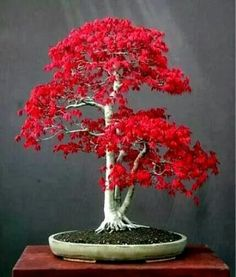 The Japanese Maple bonsai tree, acer palmatum is the plants scientific name, is a beautiful white bonsai tree with pink flowers. This is one of the coolest bonsai trees ever known to man. Red Maple Bonsai, Japanese Maple Bonsai, Japanese Red Maple, Maple Tree, Japenese Maple, Amur Maple, Japanese Plants, Japanese Modern, Garden Design