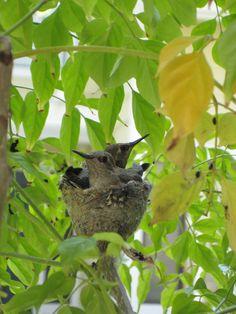 Humming Bird Babies