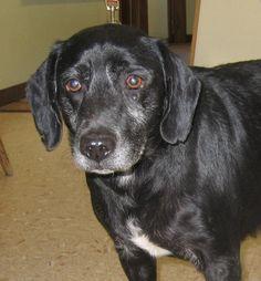 **HARLEY - Labrador Retriever Mix** • Senior • Male • Medium Holmes County Dog Warden Millersburg, Ohio ~LK~ **SENIOR ALERT** Holmes County Dog Warden's Department 5387 CR 349 Millersburg, OH 44654 330-674-6301