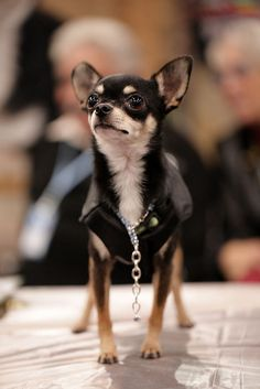Some Helpful Ideas For Training Your Dog. Loving your dog does not mean you are willing to let him go hog wild on your possessions. That said, your dog doesn't feel the same way. Cute Chihuahua, Teacup Chihuahua, Chihuahua Puppies, Cute Puppies, Dogs And Puppies, Puppy Pictures, Dog Photos, Training Your Dog, Pet Dogs