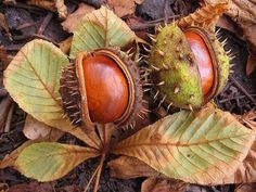 Almost the season.Conkers from a Horse Chestnut Tree.