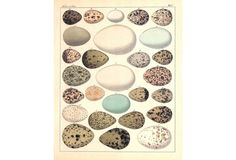 Hand-Colored Bird Eggs, C. 1840