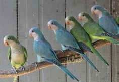 Quaker parrots I have a green one he is smart and pretty but I want a blue one too