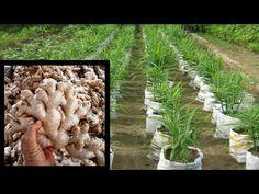 Plante de Sănătate - YouTube Youtube, Plant