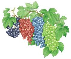 Learn how to grow, trellis and prune the best grape varieties for your region so you can enjoy delicious, heart-healthy grapes in homemade jellies, jams, juice and wine.data-pin-do=