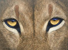 Tau - Lion Eyes by David Bucklow | Wildlife Art Artwork | Fine Art Portfolio