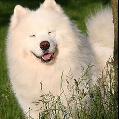 Samoyed! they are the happiest dogs i have ever seen in my life!
